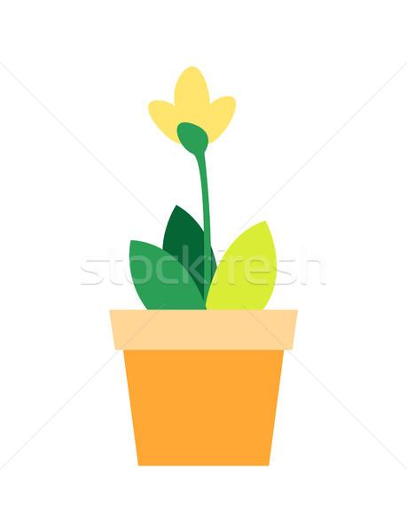 Fioritura fiore giallo foglie verdi fioriera argilla isolato Foto d'archivio © robuart
