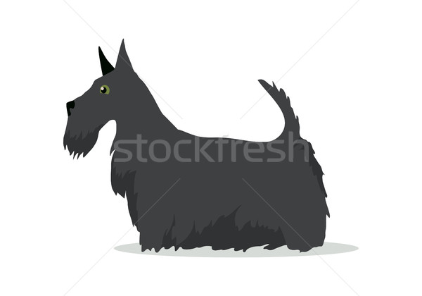 Scottish Terrier, Aberdeen Terrier, Scottie Breed Stock photo © robuart