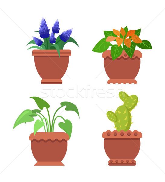 Pseuderanthemum Muscari Set Vector Illustration Stock photo © robuart