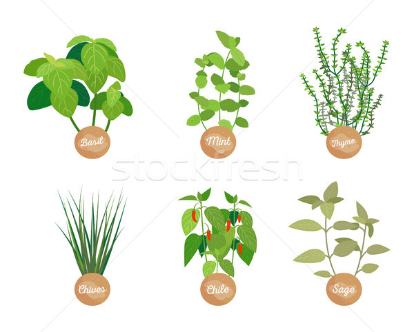 Spice Set, Closeup Plants, Vector Illustration Stock photo © robuart