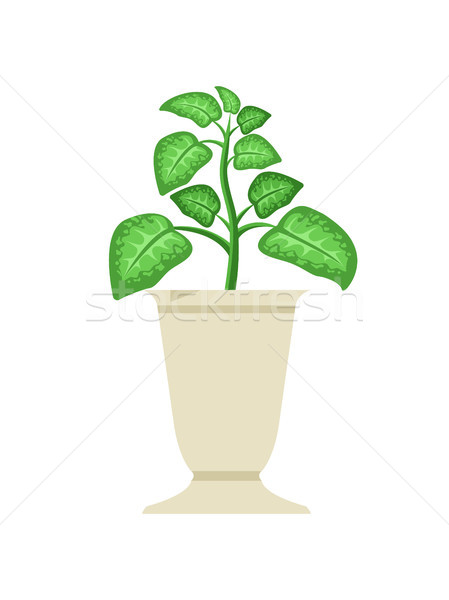 Dieffenbachia in White Vase Vector Illustration Stock photo © robuart