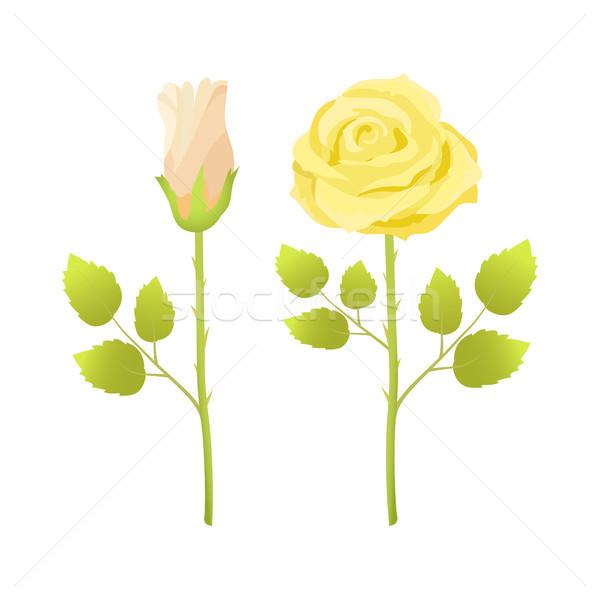Gyengéd rózsa virágok nyitva zárva rügy Stock fotó © robuart