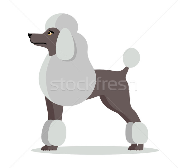Poodle in Stand on White Background Stock photo © robuart