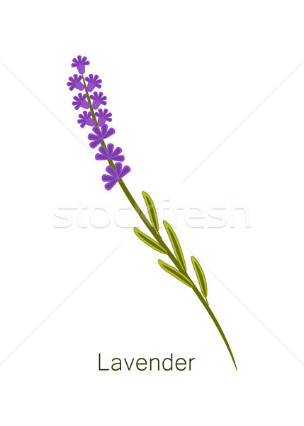 Lavender Herb and Title Object Vector Illustration Stock photo © robuart