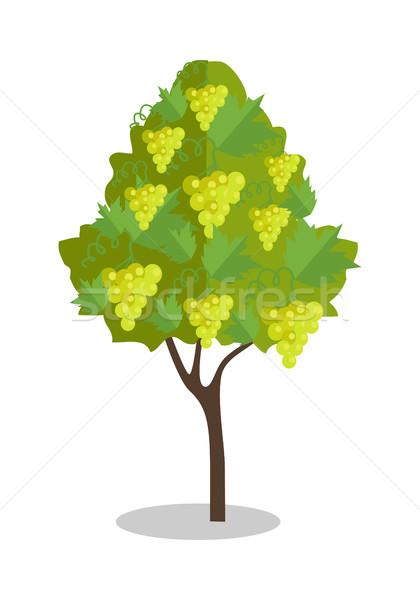 Bianco uve impiccagione Bush vigneto icona Foto d'archivio © robuart