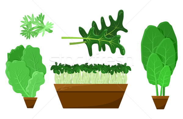 Green Salad Leaves and Roots Vector Collection Stock photo © robuart