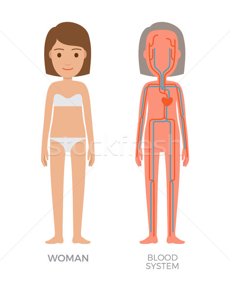 Blood Woman System Educational Vector Illustration Stock photo © robuart