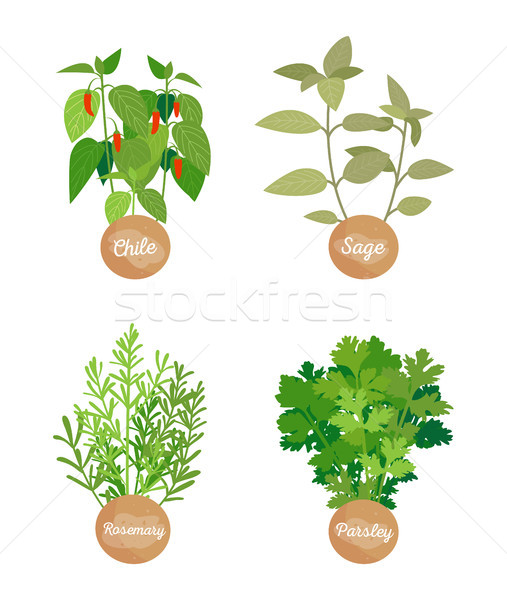Rosemary and Parsley Set, Chile Sage Vector Stock photo © robuart