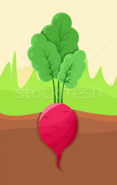 Retek növekvő föld organikus termék levelek Stock fotó © robuart