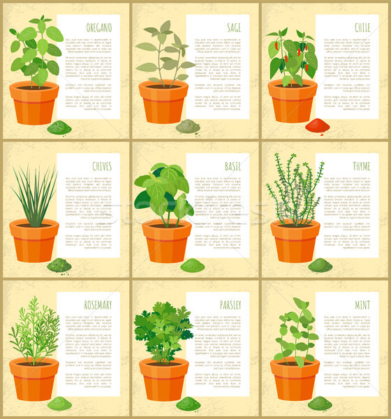 Oregano and Sage Posters Set Vector Illustration Stock photo © robuart