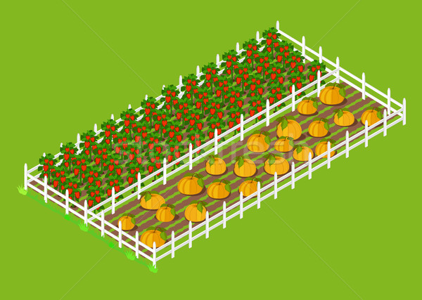 Red Bell Pepper and Pumpkins Beds Planted at Farm Stock photo © robuart
