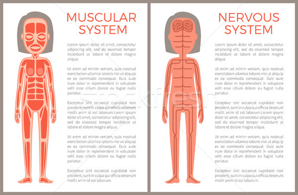 Muscular and Nervous System Anotomical Banner Stock photo © robuart