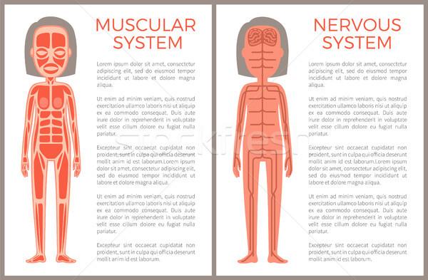 Kas sinir sistemi afiş anatomik renk kadın Stok fotoğraf © robuart