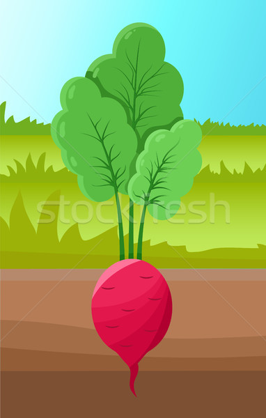 Beetroot Growing in Ground, Vector Illustration Stock photo © robuart