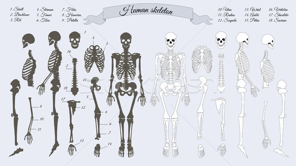 Human Skeleton. White and Black. Names of Bones Stock photo © robuart