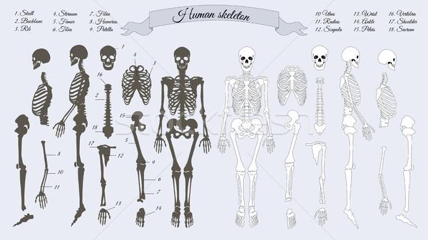 Menselijke skelet witte zwarte botten schedel Stockfoto © robuart