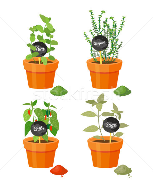Fragrant Plants Used in Culinary Grown in Pots Stock photo © robuart