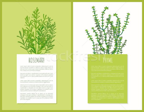 Rosmarin Kräuter Vorlage Vektor Karten Illustration Stock foto © robuart