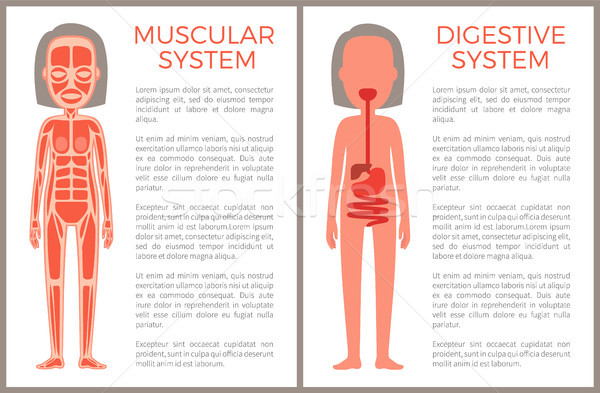 Muscular and Digestive Systems of Woman s Body Stock photo © robuart