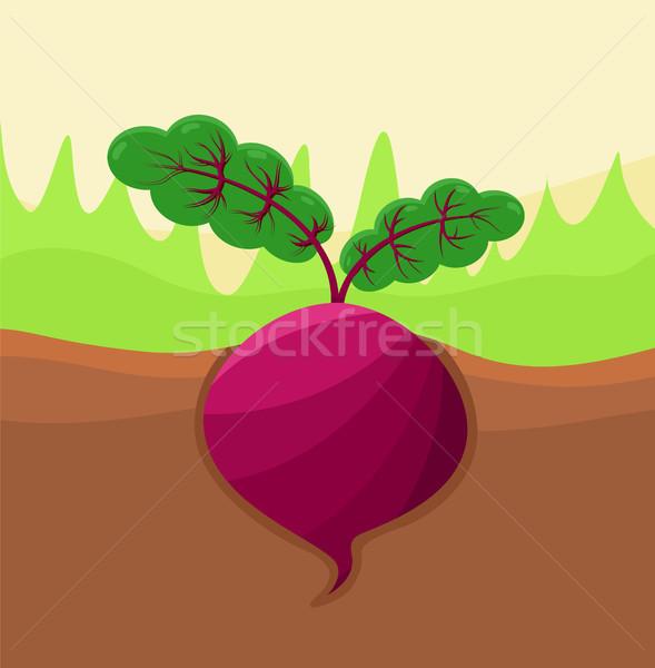 Cékla növekvő föld zöldség levelek növekedés Stock fotó © robuart