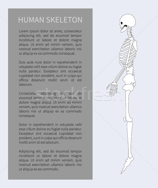 Human Skeleton System Poster Vector Illustration Stock photo © robuart