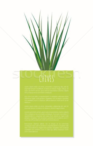 Cebollino especias planta aislado blanco Foto stock © robuart