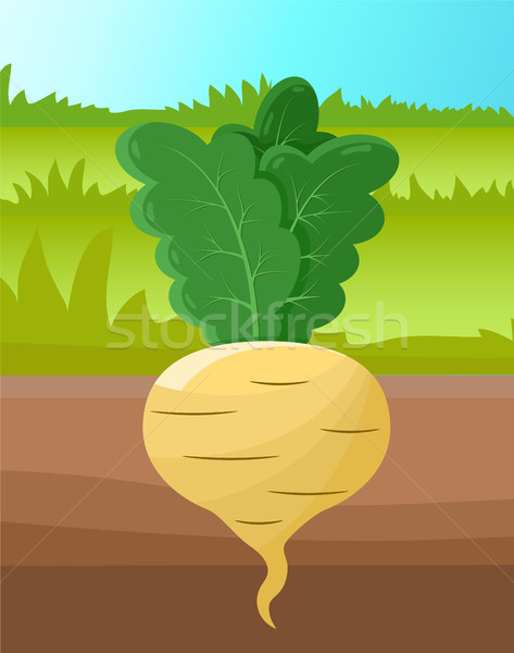 Beetroot of White Color Item Vector Illustration Stock photo © robuart