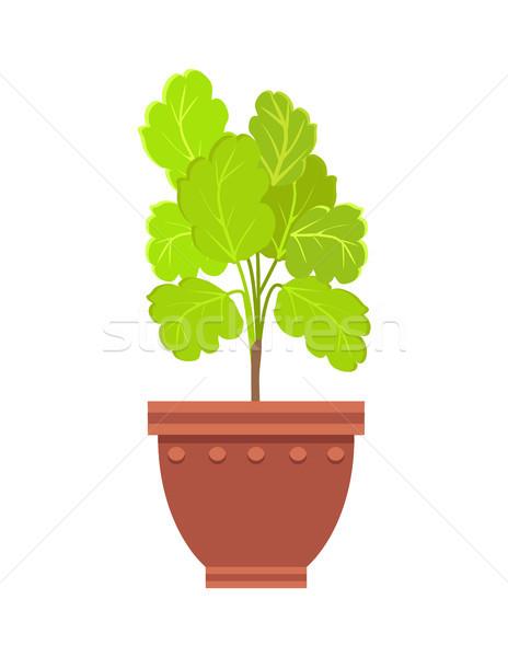 Stock photo: Healthy Kalanchoe Indoor Plant in Big Clay Pot
