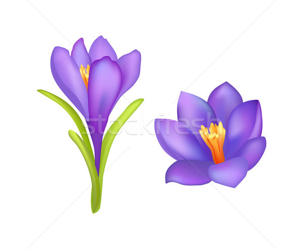 Crocus Springtime Flowers, Blooming Purple Buds Stock photo © robuart