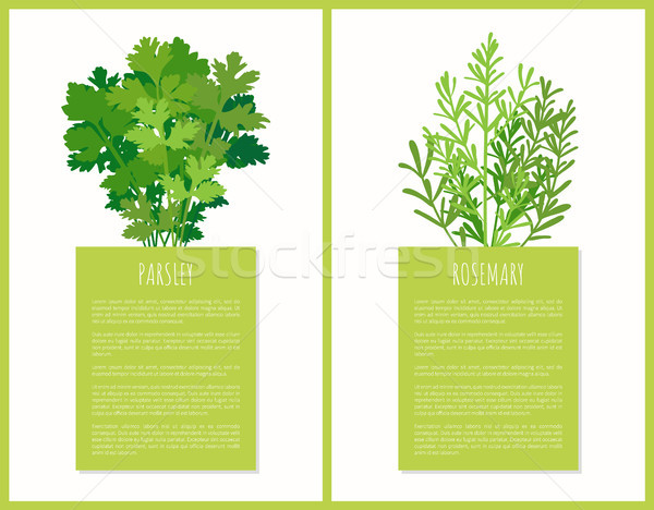 Parsley and Rosemary Greenery Set Vector Poster Stock photo © robuart