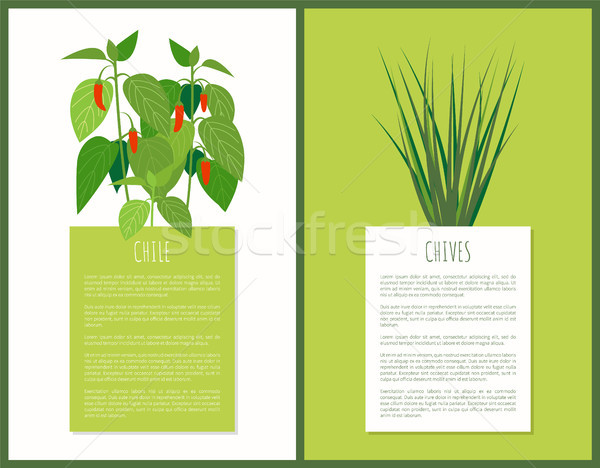 Chile and Chives Herbal Plants Vector Illustration Stock photo © robuart