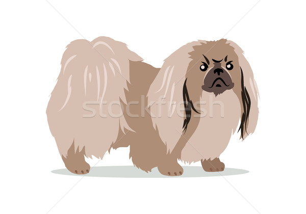 Pekingese Isolated on White Background. Stock photo © robuart
