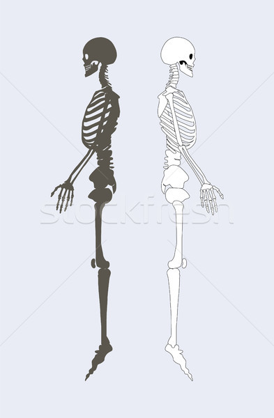 Skeletal System of Human Body Vector Illustration Stock photo © robuart