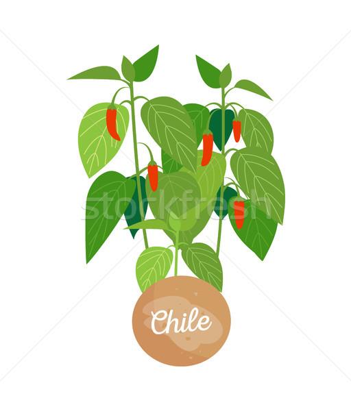 Chile emblema manchete etiqueta folhas verdes maduro Foto stock © robuart