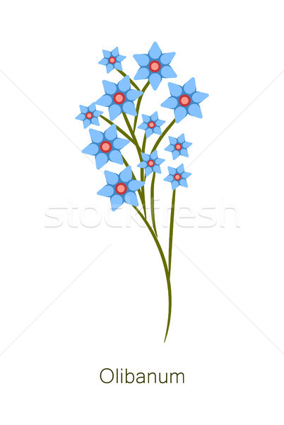 Olibanum Herb Poster Title Vector Illustration Stock photo © robuart