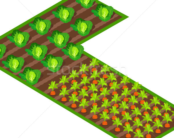 Growing Cabbages and Carrots on Soil Path Stock photo © robuart