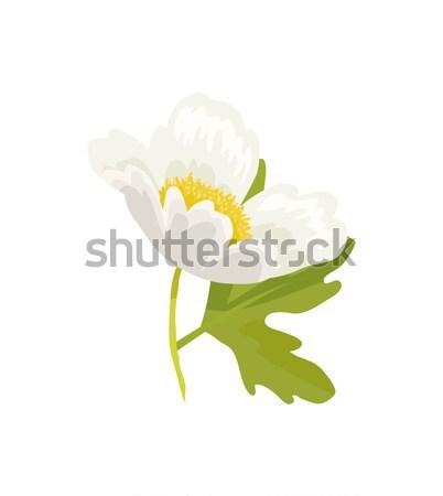 Anemone Snowdrop Favorite Garden Plant Vector Stock photo © robuart