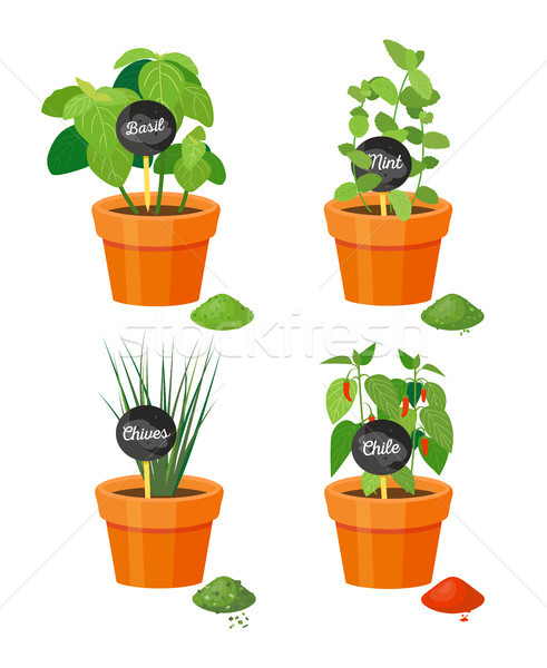 Natural Spices Grown in Plastic Flowerpots Set Stock photo © robuart
