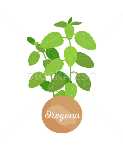 Oregano Plant in Pot and Title Vector Illustration Stock photo © robuart