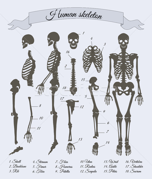 Human Skeleton and Parts, Vector Illustration Stock photo © robuart