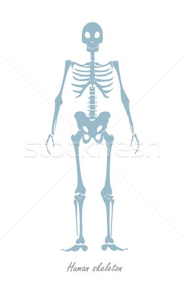 Emberi csontváz izolált fehér test alaptörvény Stock fotó © robuart