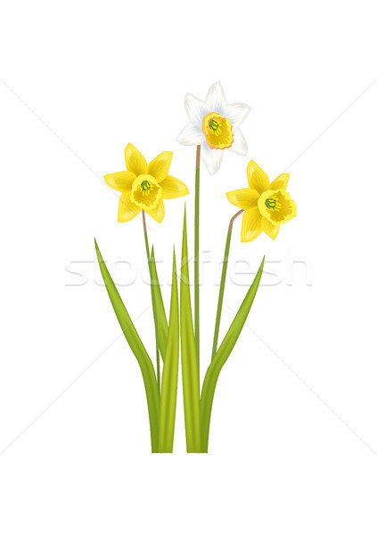 Daffodil Narcissus Bulbous Eurasian Plant, Flowers Stock photo © robuart