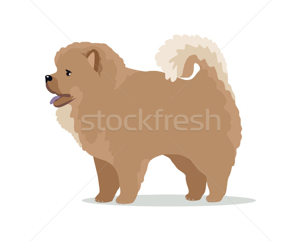 Chow-Chow Dog Breed Vector Flat Design Illustration Stock photo © robuart