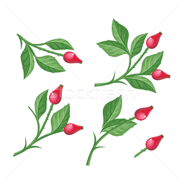 Wild Rose Hip with Berries Isolated. Briar Twig Stock photo © robuart
