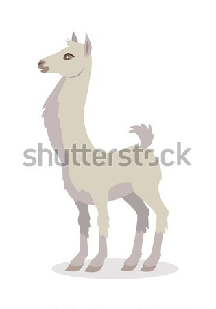 Llama Isolated on White. South American Camelid Stock photo © robuart