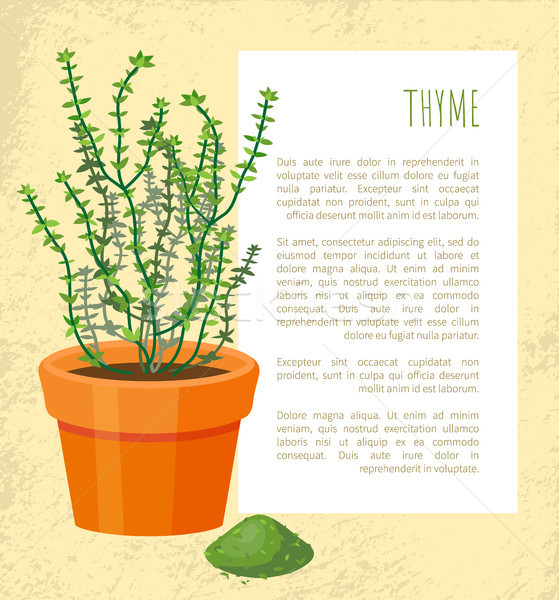 Thyme Spice, Plant Pattern, Vector Illustration Stock photo © robuart