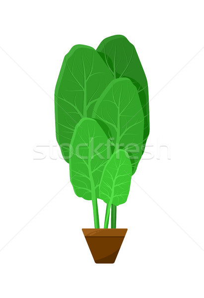 Shpinat Leaves Potted into Small Brown Container Stock photo © robuart