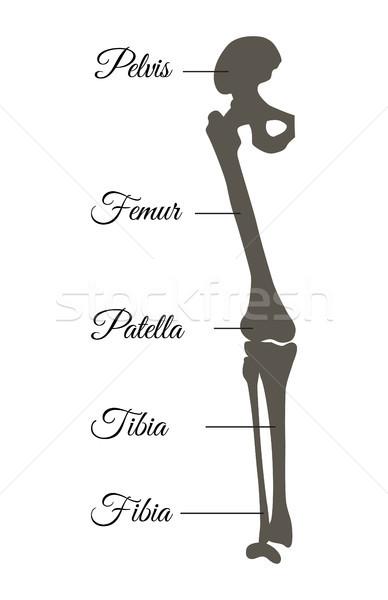 Pelvis and Femur Poster Title Vector Illustration Stock photo © robuart