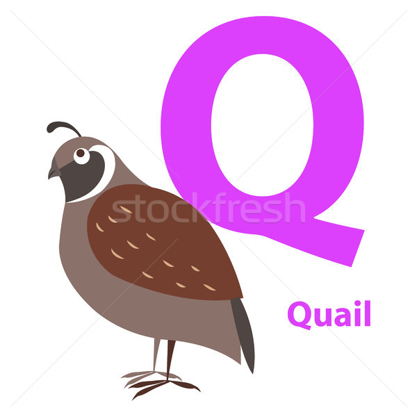 Brown Quail on Alphabet Card with Letter Q Flat Stock photo © robuart