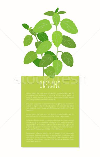 орегано завода травяной Spice вкусный природного Сток-фото © robuart